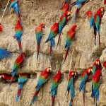 Parrot lick
