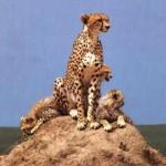 Africa 2018 cheetah