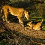 Africa 2018 lion