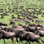 Africa 2018 wildebeest