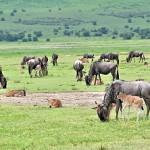 Africa 2018 wildebeest babies