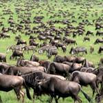 Feature wildebeest TZ