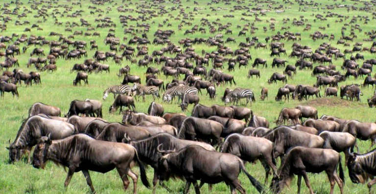 Feature wildebeest TZ