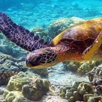 Ecuador turtle swimming