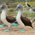 Galapagos blue footed boobie