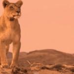 Namibia desert lion
