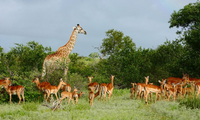 south africa giraffe